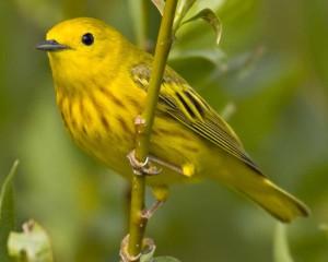Yellow_Warbler_l07-48-261_l_1