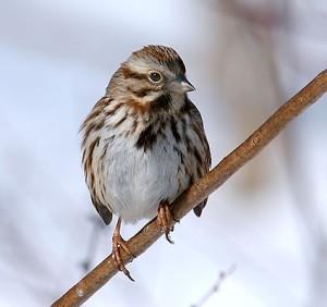 song_sparrow_8